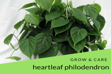 heart;eaf-philodendron | philodendronplant.com
