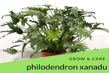 philodendron-xandu | philodendronplant.com