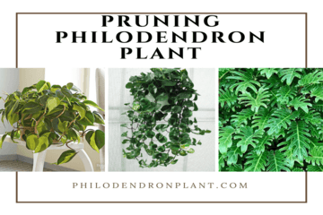 pruning-philodendron| philodendronplant.com
