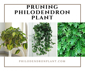 Pruning Philodendron Plant Is Easy