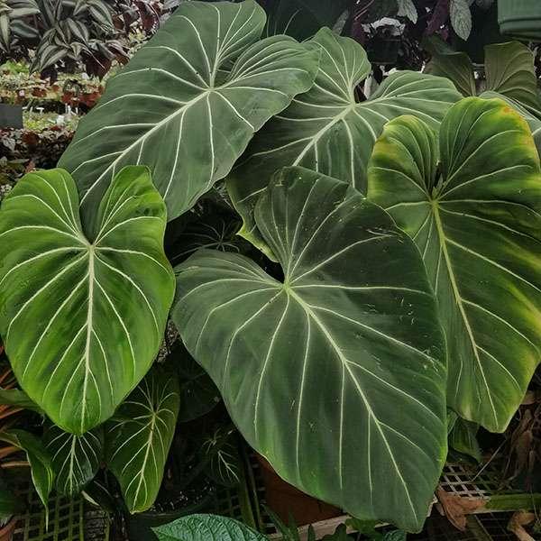 philodendron gloriosum has velvet leaves