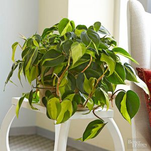 how-to-grow-care-philodendron |philodendron.com