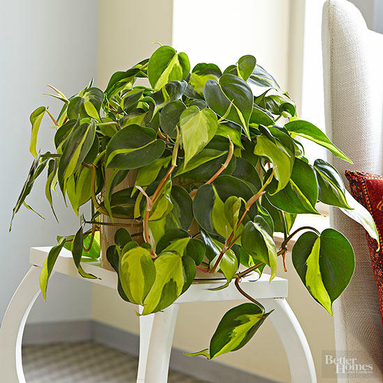How-To-Grow-And-Care-Philodendron-brasil | philodendron.com