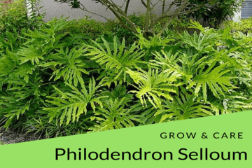 care-philodendron-selloum | philodendronplant.com