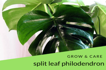 grow_n_care_split_leaf_philodendron|philodendronplant.com