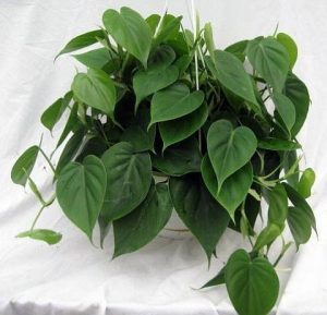 heartleaf_philodendron | philodendronplant.com
