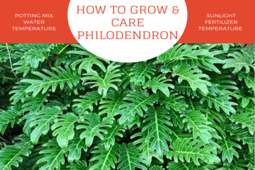 how to grow philodendron |philodendronpplant.com