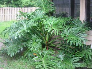 Philodendron Selloum | philodendronplant.com