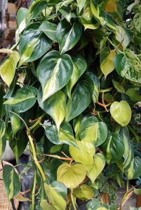 pruning-philodenron | philodendronplant.com