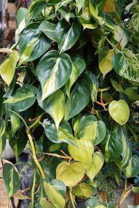 propagate-philodendron-brasil | philodendronplant.com