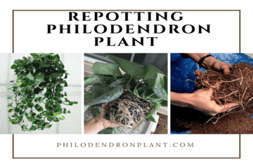 Repotting Philodendron Plant Is Easy