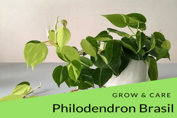 Philodendron Brasil Grow & Care Tips