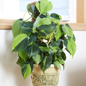 philodendron-brasil-care