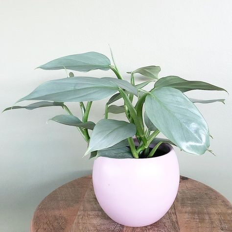 grow and care your your philodendron hastatum