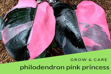 Philodendron Pink Princess Grow & Care