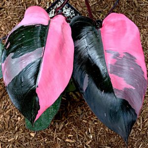 give maximum coloration to philodendron pink princess