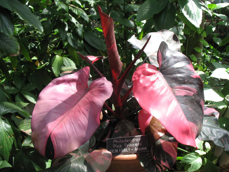 Grow philodendron pink princess outdoor