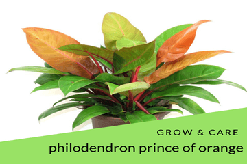 Philodendron Prince Of Orange Grow & Care Tips