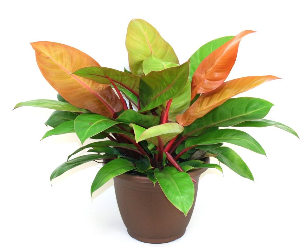 philodendron prince of orange care