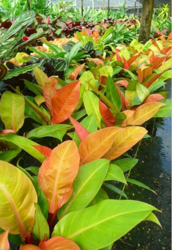 beautiful philodendron prince of orange