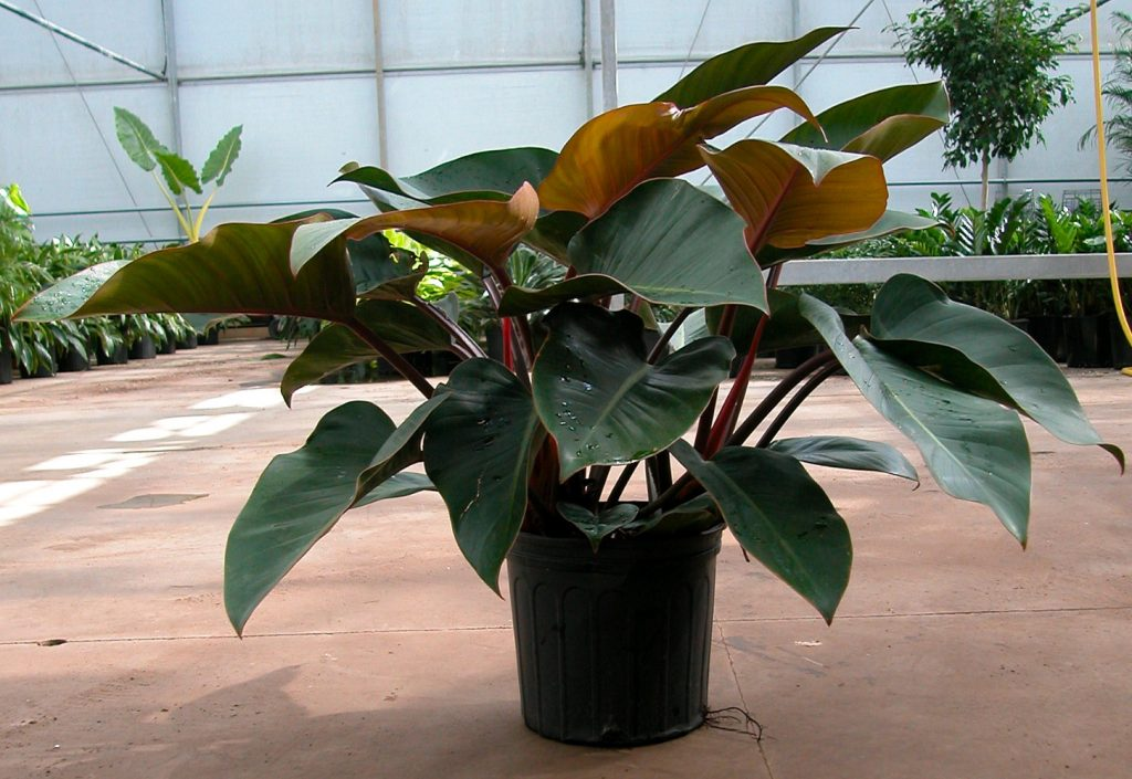 care your philodendron rojo congo