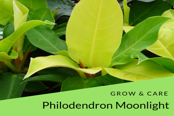 Philodendron Moonlight grow and care tips