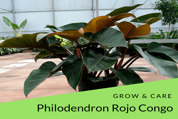grow and care tips for philodendron rojo congo