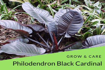 Philodendron Black Cardinal Grow & Care Tips