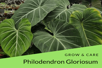 how to grow and care Philodendron gloriosum