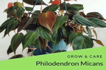 philodendron micans care| philodendronplant.com
