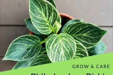 how to care philodendron birkin