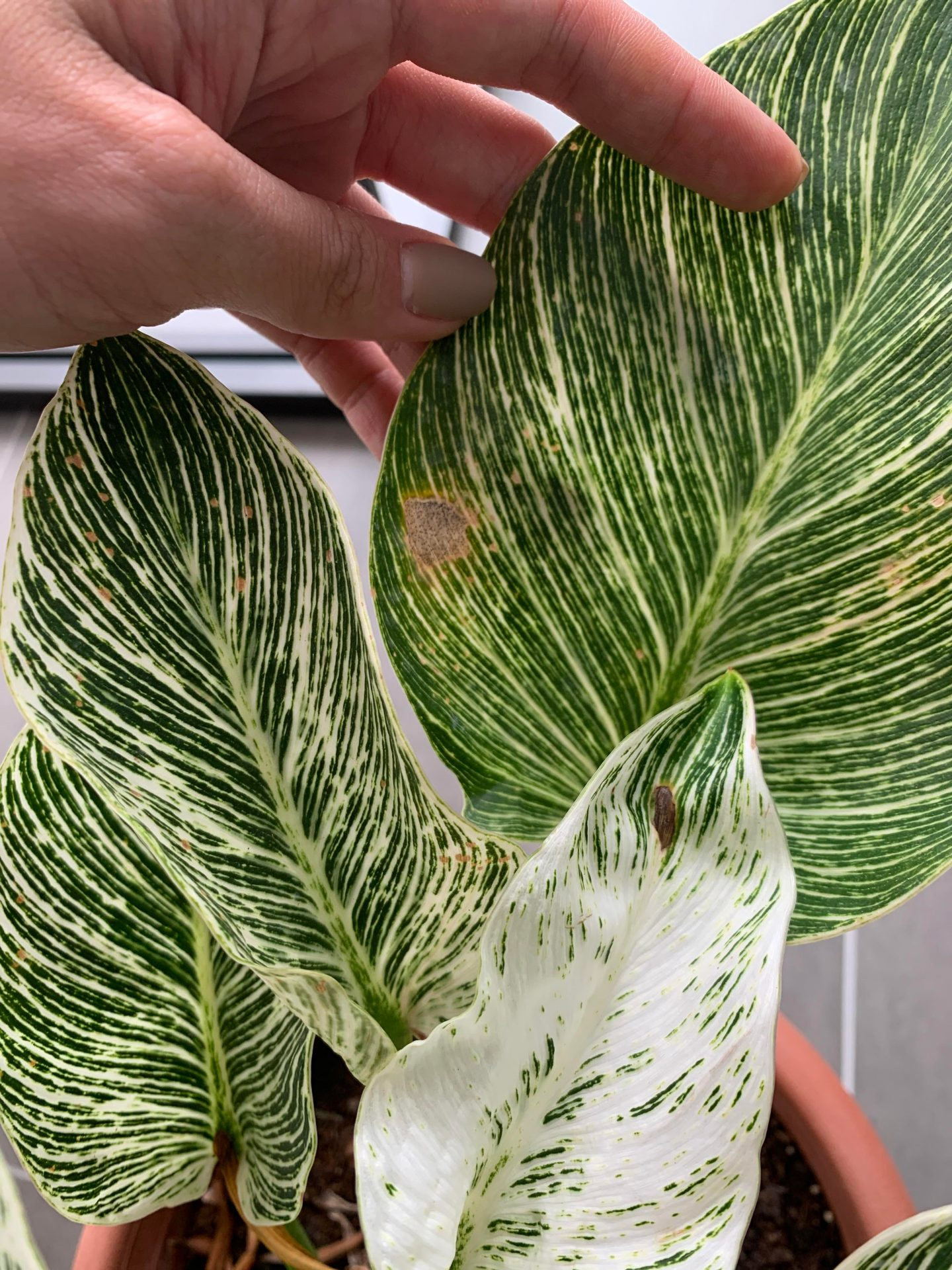 why philodendron birkin has a brown spot?